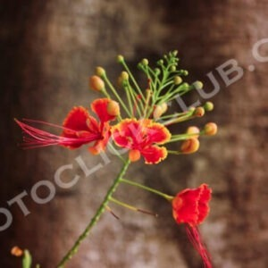 CAESALPINIA FLOWER